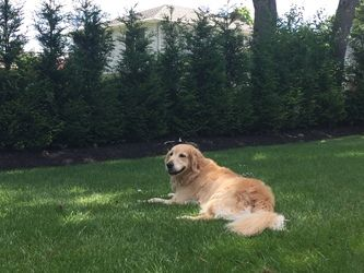 Dr. Holzman's golden retriever lying in the grass