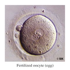 Fertilized Oocyte