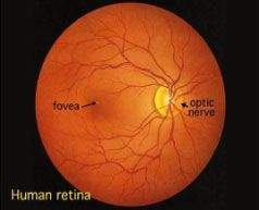 Diagram of a human retina