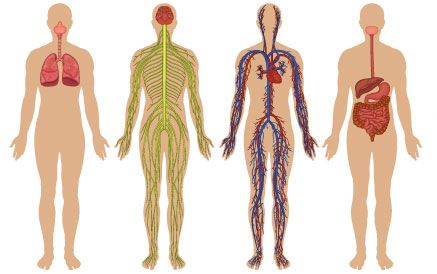 Views of the internal systems of the human body