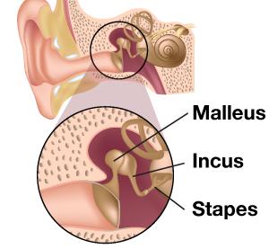 Illustration of anatomy of the inner ear