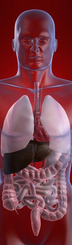 Illustration of internal organs