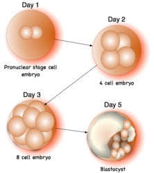 Illustration shows growth of embryo as part of IVF procedure