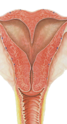 Illustration of female anatomy