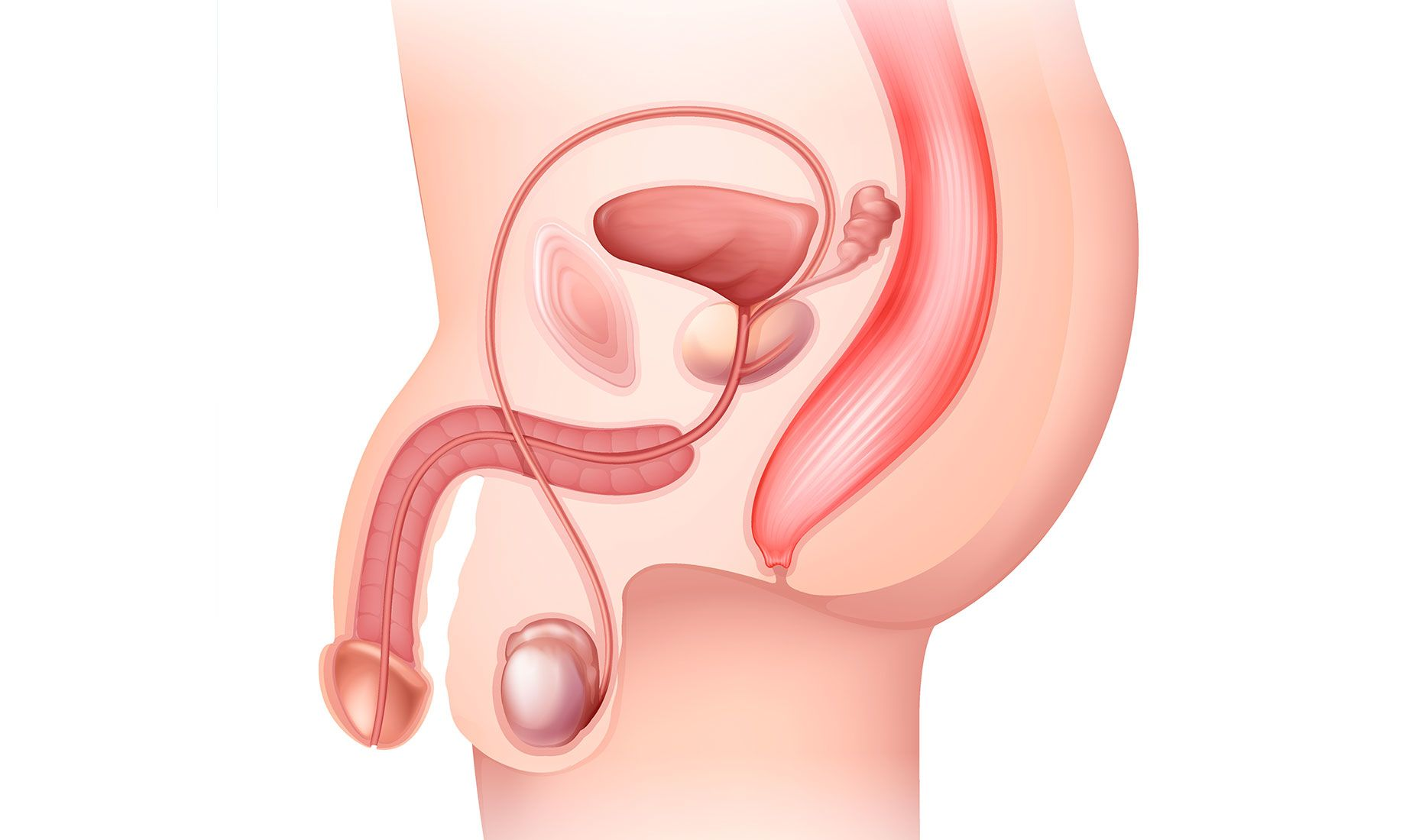Side view rendering of male reproductive system to assess infertility