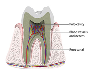 Anatomical illustration of a tooth
