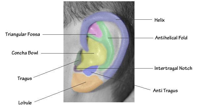Diagram showing normal anatomy of the ear