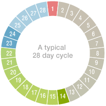 Diagram of menstrual cycle