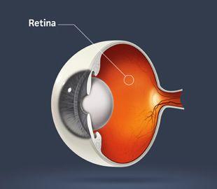 Illustration of the retina