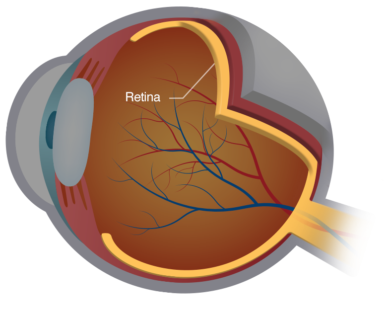 Illustration of the structures of the eye